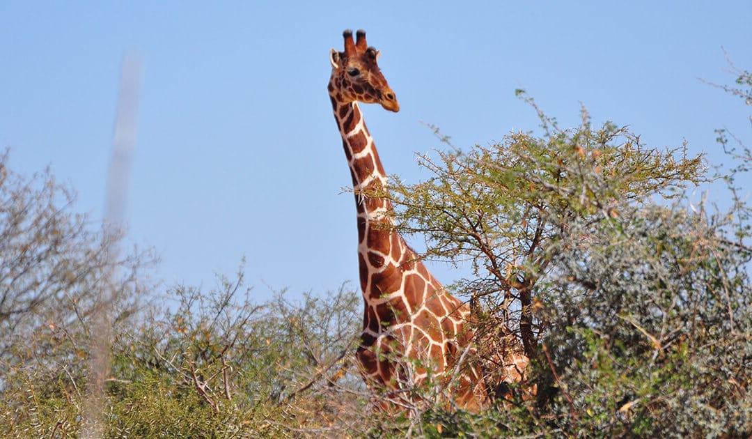 Giraffe Paying Attention